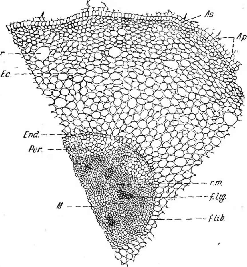 Виноградная лоза и ее строение