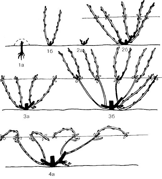Подвязка винограда в картинках