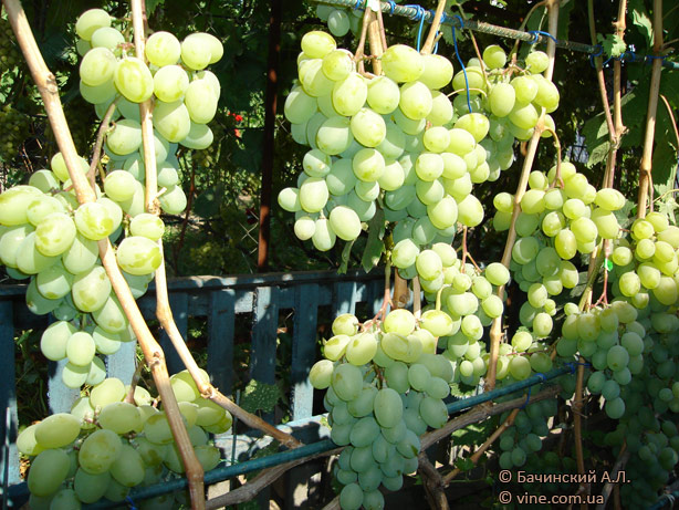Уход за виноградом подарок запорожья 19