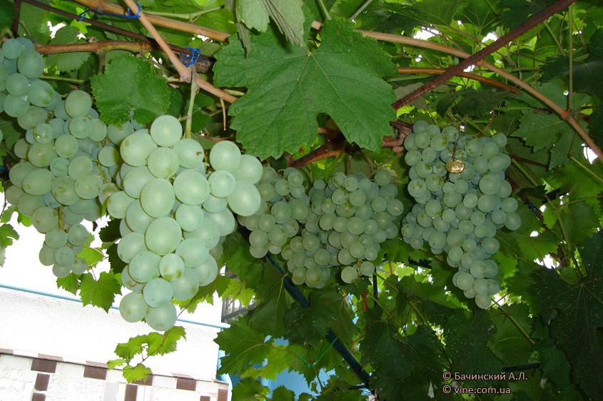 http://vinograd.info/images/gallery/img/115/1235841595_talisman-1.jpg