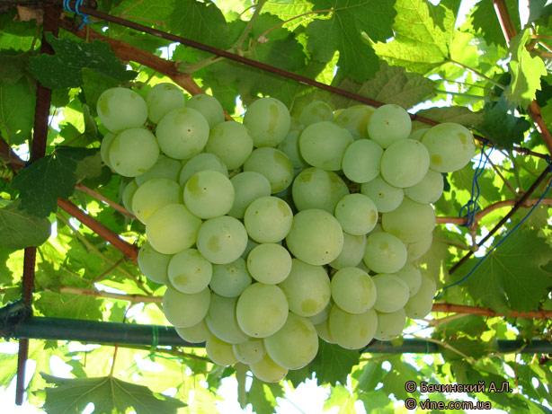 http://vinograd.info/images/gallery/img/115/1235841601_talisman-4.jpg