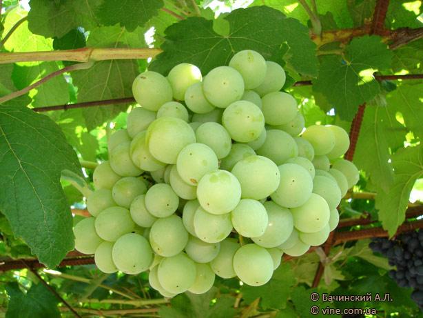 http://vinograd.info/images/gallery/img/115/1235841606_talisman-9.jpg