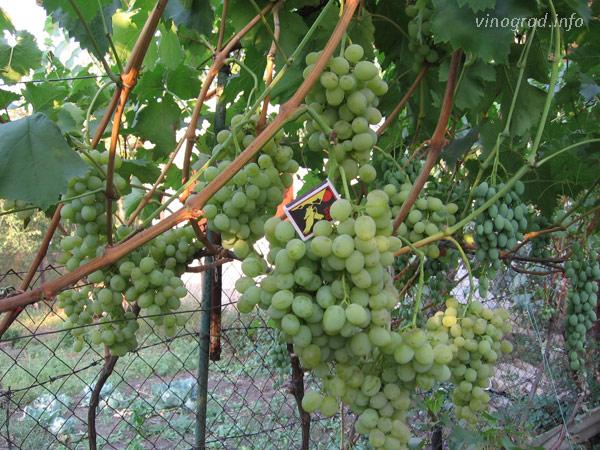Иринка с гроздьями