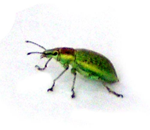 Трубковерт зеленый