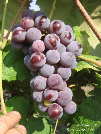 изабельные сорта винограда фото и описание