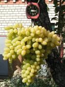 http://vinograd.info/images/statyi/2012/kordon-belikovoy/kordon-belikovoy-34.jpg