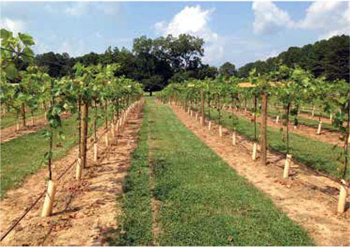 Выращивание винограда оквэд 7