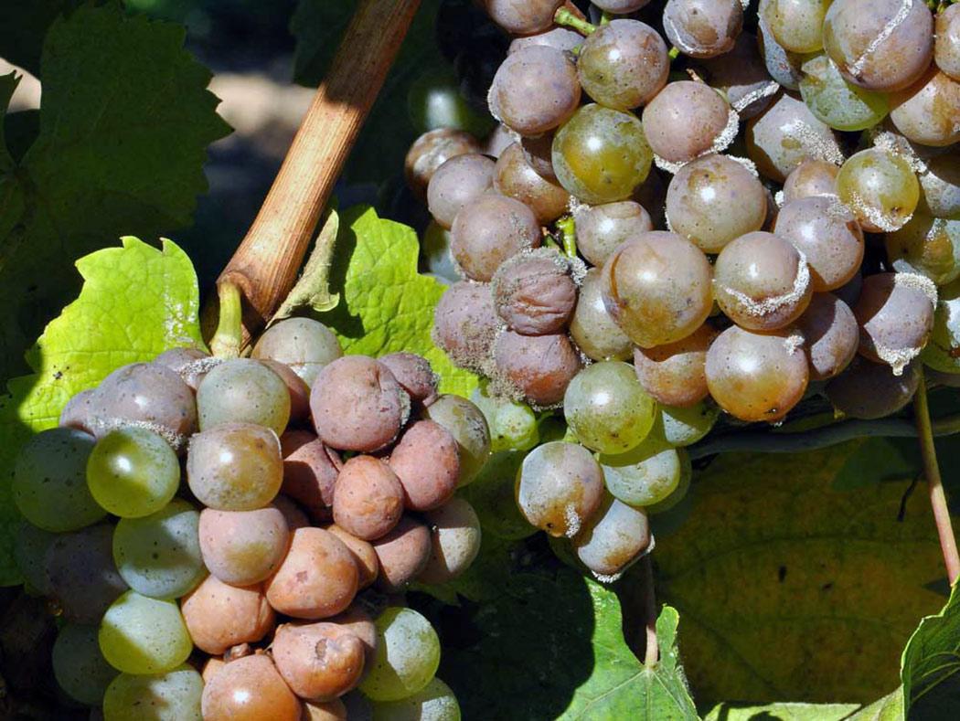 кислая гниль винограда на грозди