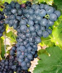 сорт винограда Сира