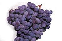 зрелость ягод винограда