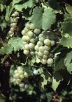 сорт винограда NY62.0122.01