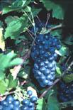 Сорт винограда Шелуи