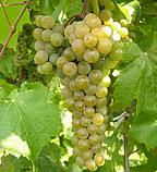 сорт винограда Ла Креснт