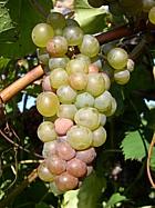 сорт винограда Рава 51 (Вигноль)